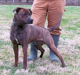 Boxer Mix Dog for adoption in Batavia, Ohio - Regal