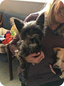 Yorkie, Yorkshire Terrier Mix Dog for adoption in Visalia, California - Chika
