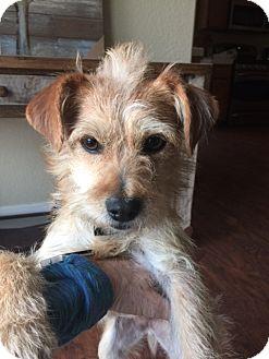 Dachshund/Pekingese Mix Dog for adoption in san diego, California - Brandy