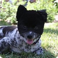 Adopt A Pet :: Panda - Monrovia, CA