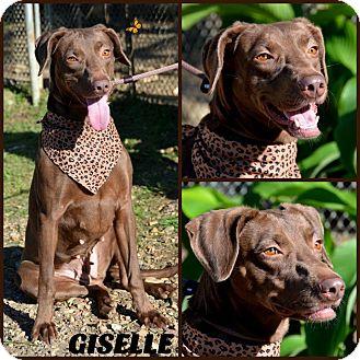 Labrador Retriever/Hound (Unknown Type) Mix Dog for adoption in Jackson, Mississippi - Giselle