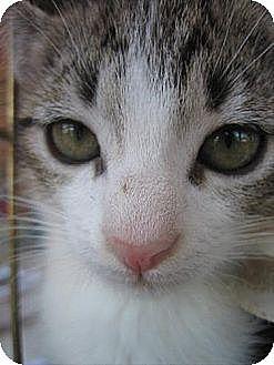 American Shorthair Kitten for adoption in Cleveland, Ohio - DOC