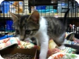 Domestic Shorthair Kitten for adoption in Cranford/Rartian, New Jersey - Daisy