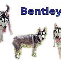 Adopt A Pet :: Bentley - Seminole, FL