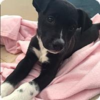 Adopt A Pet :: *Pippa - PENDING - Westport, CT