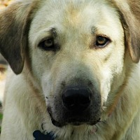 Anatolian Shepherd/Great Pyrenees Mix Dog for adoption in Whitewright, Texas - Van Dyke