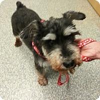 Adopt A Pet :: Tory - Laurel, MD
