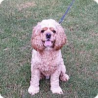 Adopt A Pet :: Duke - Alpharetta, GA