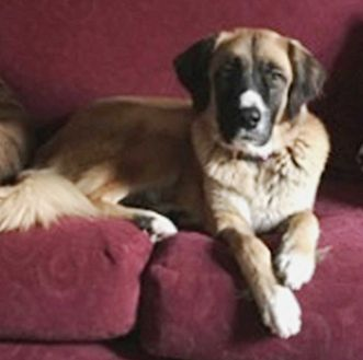 St. Bernard Dog for adoption in Glendale, Arizona - Chloe