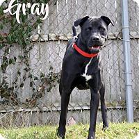 Adopt A Pet :: Gray - Newport, KY