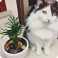 Domestic Longhair Cat for adoption in Chino Hills, California - Blossom
