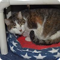 Adopt A Pet :: Steve T. Cat - Wheaton, IL