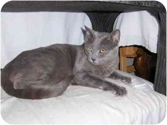 Russian Blue Cat for adoption in Los Angeles, California - Zeus