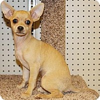 Adopt A Pet :: Lady Sybil - Gilbert, AZ