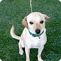 Adopt A Pet :: Steven - Mission Viejo, CA
