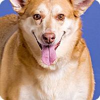 Adopt A Pet :: Sweet Pea - Owensboro, KY