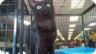Domestic Shorthair Cat for adoption in Exton, Pennsylvania - Felix (PB)
