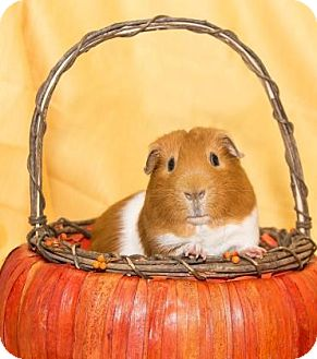 Guinea Pig for adoption in Lowell, Massachusetts - Fatty