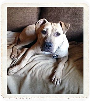 Pit Bull Terrier Mix Dog for adoption in Tucson, Arizona - Kai