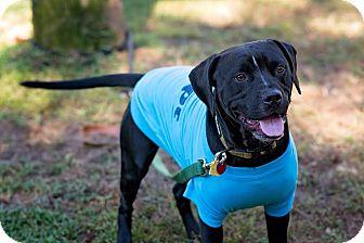 Labrador Retriever/Boxer Mix Dog for adoption in Navarre, Florida - Jacob