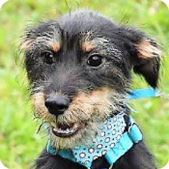 Miniature Schnauzer Mix Dog for adoption in San Francisco, California - Jesse