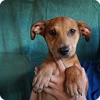Adopt A Pet :: Hallie - Oviedo, FL