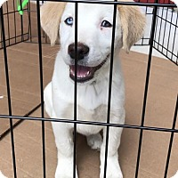 Labrador Retriever Mix Dog for adoption in Royal Palm Beach, Florida - SNOWFLAKE