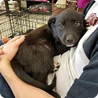 Adopt A Pet :: Simba - Springfield, MO