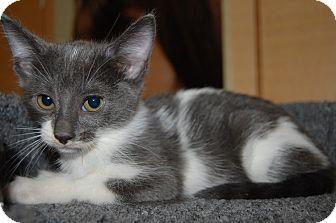 Domestic Shorthair Kitten for adoption in Whittier, California - Madelyn