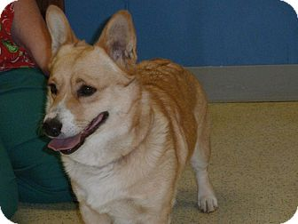 Corgi Dog for adoption in Inola, Oklahoma - Merri