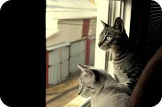 Siamese Cat for adoption in Harrisburg, North Carolina - Finn