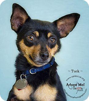 Miniature Pinscher Mix Dog for adoption in Phoenix, Arizona - Tuck