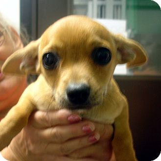 Chihuahua Mix Puppy for adoption in Greencastle, North Carolina - Rudy