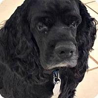 Adopt A Pet :: Louie - Sugarland, TX