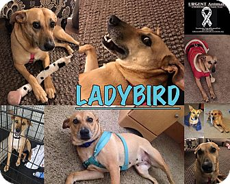 Black Mouth Cur Mix Dog for adoption in Hearne, Texas - Ladybird