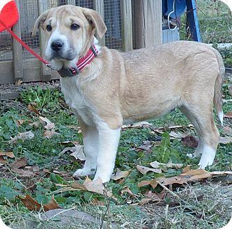 Boxer/Feist Mix Puppy for adoption in Newburgh, New York - Prancer