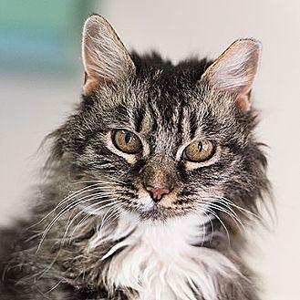 Domestic Longhair Cat for adoption in Kanab, Utah - Penny