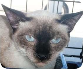 Siamese Cat for adoption in Pasadena, California - Teri