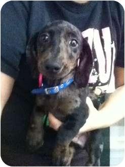 Dachshund Puppy for adoption in Lonedell, Missouri - niko