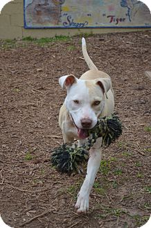 American Staffordshire Terrier Mix Dog for adoption in Houston, Texas - Ellie