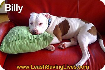 Pit Bull Terrier Mix Dog for adoption in Pitt Meadows, British Columbia - Billy
