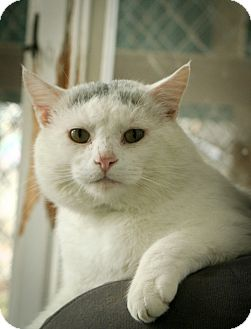 Domestic Shorthair Cat for adoption in Anderson, Indiana - Big Boi