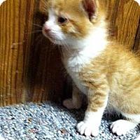 Adopt A Pet :: Ernie, Eva, & Emily - Kittens - Xenia, OH