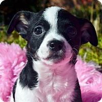 Adopt A Pet :: Kay-Adoption pending - Bridgeton, MO