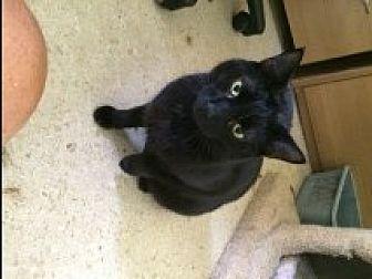 Domestic Shorthair Kitten for adoption in Naples, Florida - Midnight