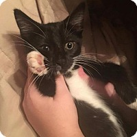 Domestic Shorthair Cat for adoption in Valley Park, Missouri - Meredith