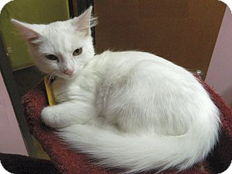 Domestic Mediumhair Kitten for adoption in The Colony, Texas - Baymax
