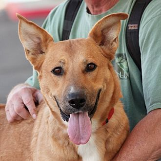 Labrador Retriever/Shepherd (Unknown Type) Mix Dog for adoption in Palmdale, California - Priscilla