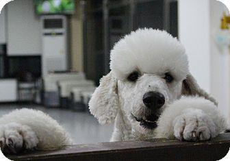 Poodle (Standard) Mix Dog for adoption in Fairfax, Virginia - Yang-yang