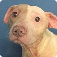 Adopt A Pet :: Sally - Springdale, AR